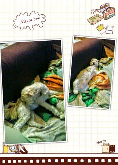 Stellina cagnolina meticcia con il pelo arricciato