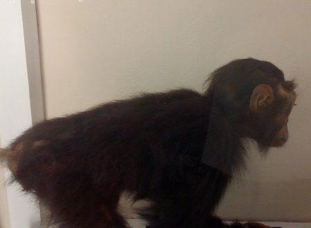 Le scimmie e l'evoluzione umana